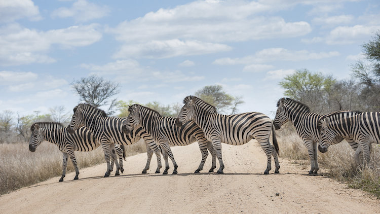 Zebras crossing the road, Kruger National Park. Credit: iStock.com.