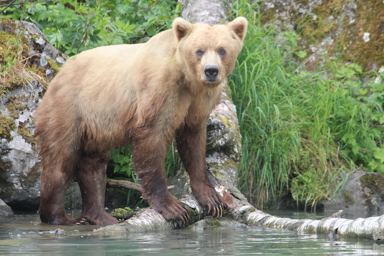 A brown bear patrols the waterfront. Photo: Carol Atkinson.