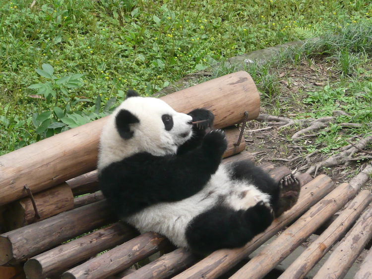A panda at Chongqing Zoo. Credit: Carol Atkinson.