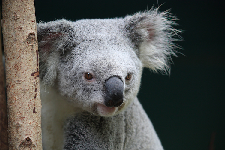 A koala at Australia Zoo. Photo: Craigles75/flickr.com.