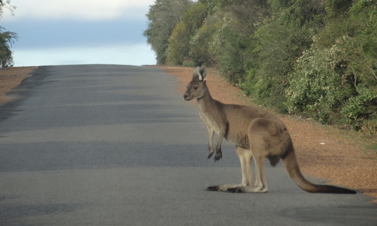 A kangaroo on the road to Cape Naturaliste Lighthouse. Photo: Brett Atkinson