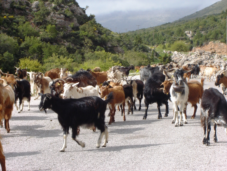 Watch for goats on the mountain roads of Arkadia. Credit: Diana Noonan