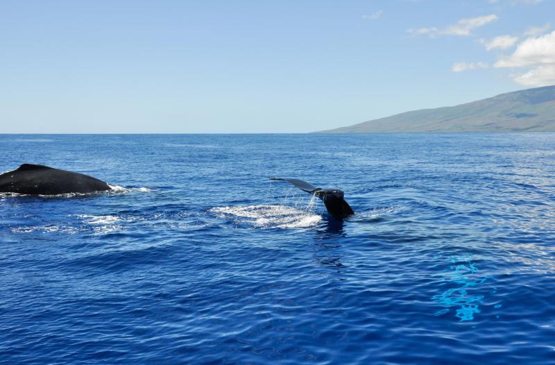 whales hawaii
