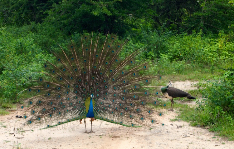 Wild peacocks, Yala National Park. Photo: Jacqui Gibson