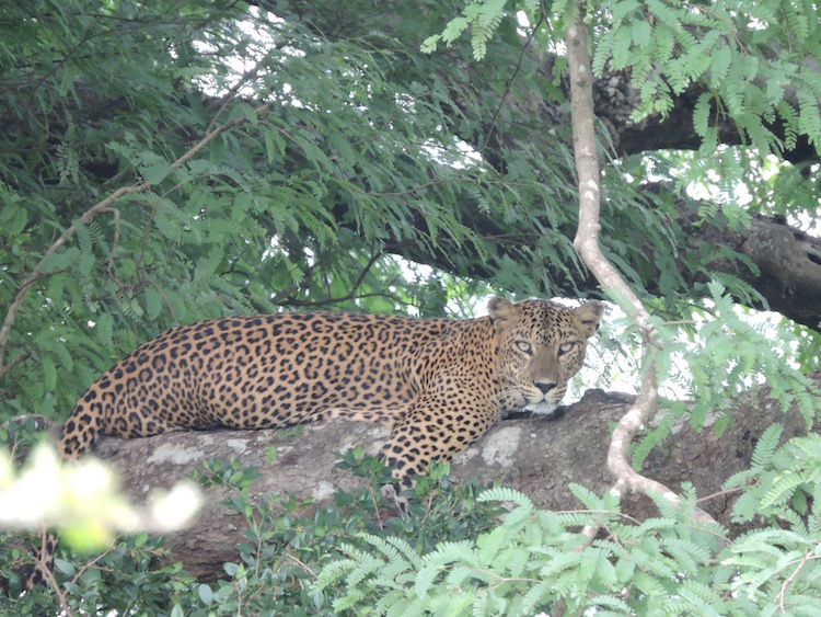 A leopard in Yala National Park. Photo: Jacqui Gibson