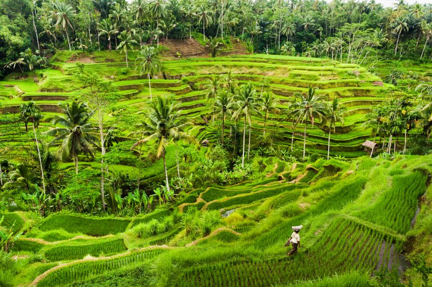 Jatiluwih rice terraces. Photo: iStock