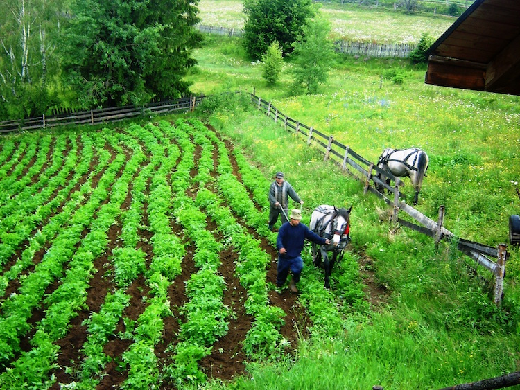 Mounding up potatoes in Transylvania with the help of a horse-drawn plow. Photo: Diana Noonan