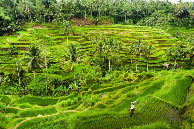 Tegallalang Rice Terraces. Photo: iStock