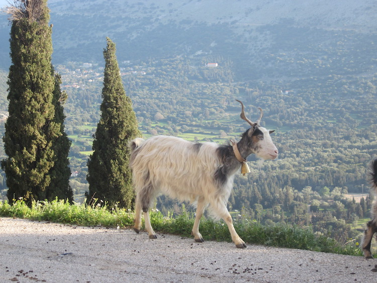 The rural roads of Cephalonia are alive with the music of goat bells. Photo: Diana Noonan