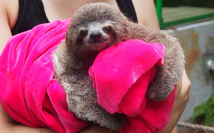 A baby sloth at Alturas Wildlife Animal Sanctuary. Photo: Alexia Santamaria