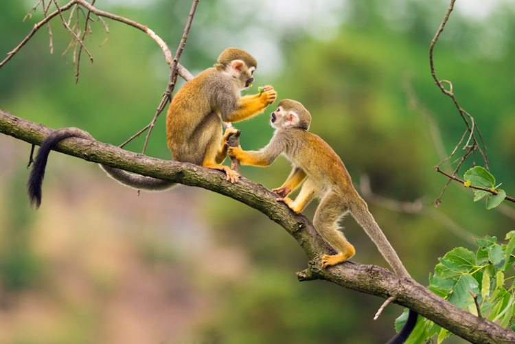 Amazonian squirrel monkeys playing on a tree branch. Photo: iStock