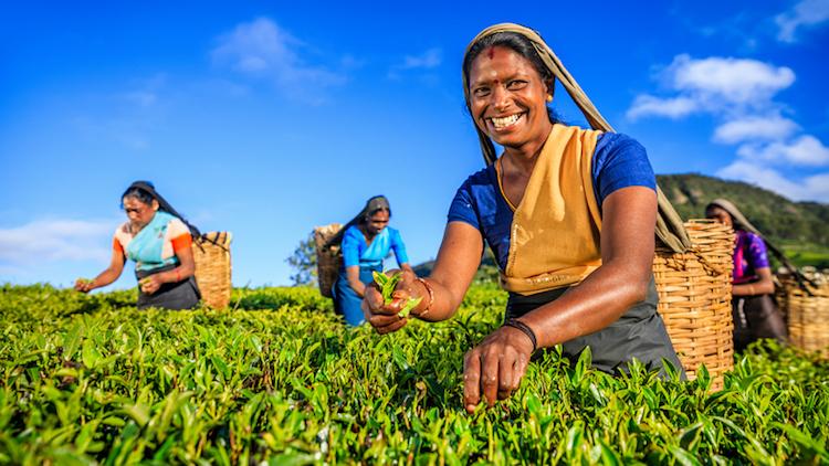 Tamil women picking tea on a plantation in Sri Lanka