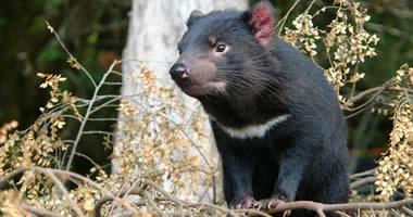 The endangered Tasmanian devil