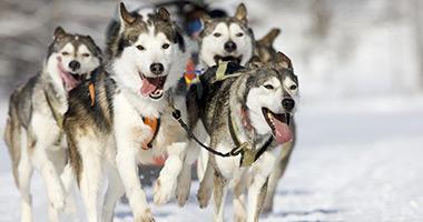 Go Sledding With the Huskies