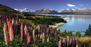 Lovely Lupins, Mt Cook