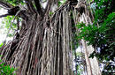 Curtain Fig Tree