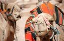Camels, Petra | by Flight Centre's Katrina Imbruglia